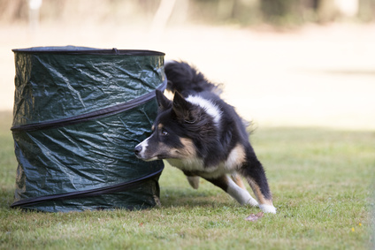 Dog, Border Collie, agility training
