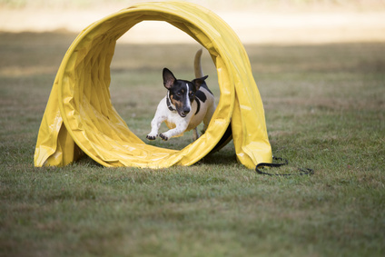 Dog, Jack Russel Terrier, running through agility tunnel